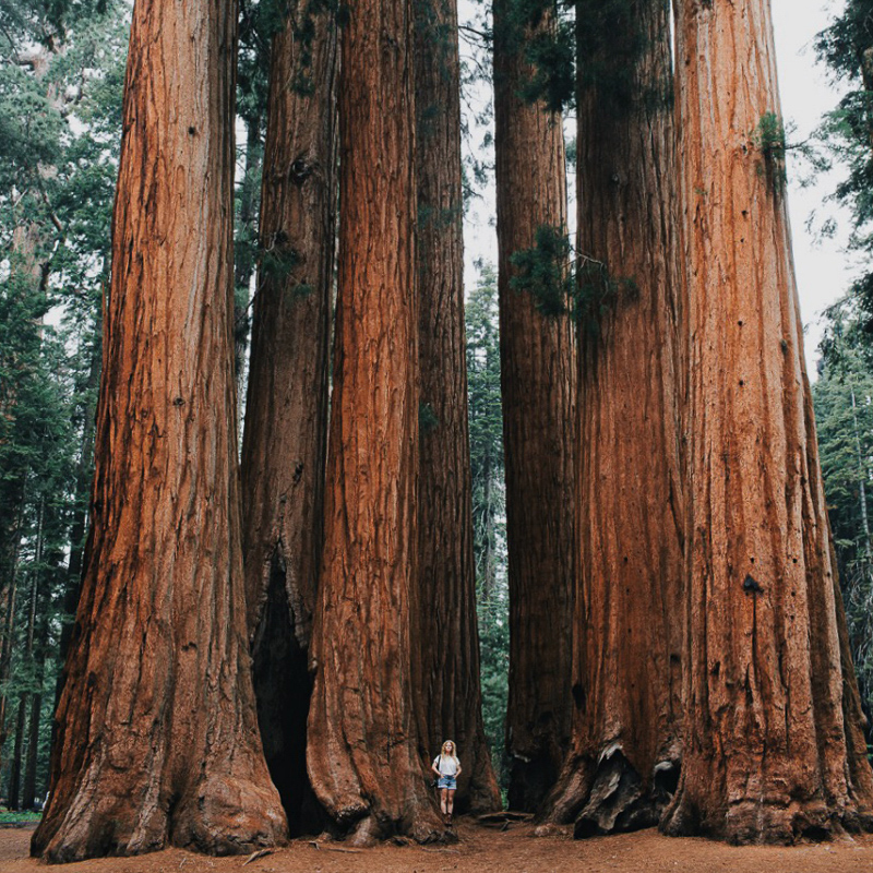 giant trees in sequoia national park california