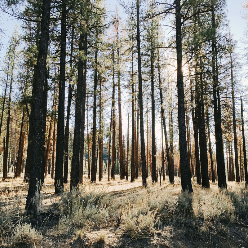 backpacking in a grove of pines in the sespe wilderness in california
