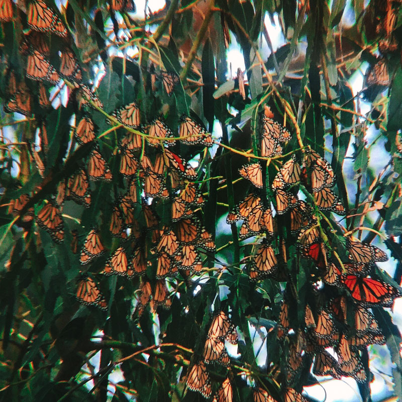 monarch butterflies in the eucalyptus trees in pismo beach california